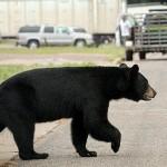 熊来了,安省 Sudbury 居民很担心