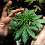 加拿大安省一学院将开设商业大麻生产课程