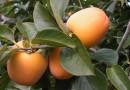 西班牙甜柿創意食譜