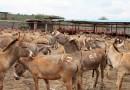 非洲毛驴又遭殃了!只因中国需求巨大
