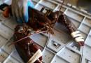 美国龙虾为避高关税取道加拿大出口到中国