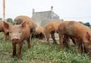豬年為豬隻爭取福利 世界動物保護協會呼籲簽署請願書