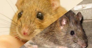 """十二生肖,鼠年说""""鼠"""" ——mouse or rat?"""