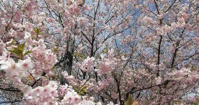 疫中作乐去赏樱