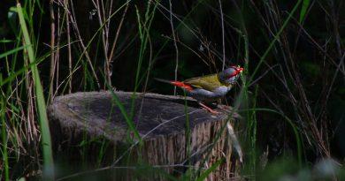 勇敢的澳洲雀鳥